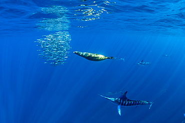 California Sea Lion (Zalophus californianus) and Striped marlin (Tetrapturus audax) feeding on sardine's bait ball (Sardinops sagax), Magdalena Bay, West Coast of Baja California, Pacific Ocean, Mexico