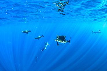 California Sea Lion (Zalophus californianus) Striped marlin (Tetrapturus audax) and Indo-Pacific sailfish (Istiophorus platypterus) feeding on sardine's bait ball (Sardinops sagax), Magdalena Bay, West Coast of Baja California, Pacific Ocean, Mexico