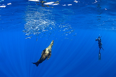 Free diver photographing California Sea Lion (Zalophus californianus) feeding on sardine's bait ball (Sardinops sagax), Magdalena Bay, West Coast of Baja California, Pacific Ocean, Mexico
