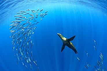 California Sea Lion (Zalophus californianus) feeding on sardine's bait ball (Sardinops sagax), Magdalena Bay, West Coast of Baja California, Pacific Ocean, Mexico
