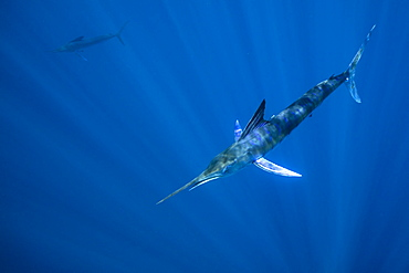 Striped marlin (Tetrapturus audax) feeding on sardine's bait ball (Sardinops sagax), Magdalena Bay, West Coast of Baja California, Pacific Ocean, Mexico