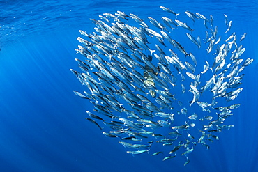 Sardine's bait ball (Sardinops sagax), Magdalena Bay, West Coast of Baja California, Pacific Ocean, Mexico
