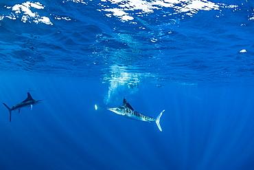 Striped marlin (Tetrapturus audax) that he has just taken a sardine from a bait ball (Sardinops sagax), Magdalena Bay, West Coast of Baja California, Pacific Ocean, Mexico