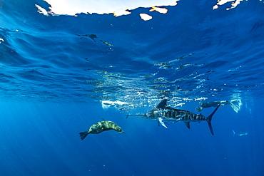 California Sea Lion (Zalophus californianus) and Striped marlin (Tetrapturus audax) feeding on sardine's bait ball (Sardinops sagax), Magdalena Bay, West Coast of Baja California, Pacific Ocean, Mexico
