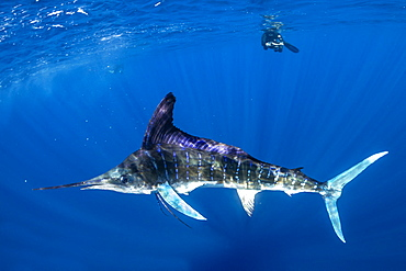 Free diver photographing Striped marlin (Tetrapturus audax) feeding on sardine's bait ball (Sardinops sagax), Magdalena Bay, West Coast of Baja California, Pacific Ocean, Mexico