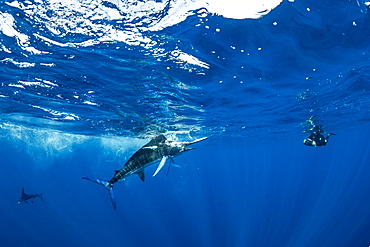 Free diver photographing Striped marlin (Tetrapturus audax) that he has just taken a sardine from a bait ball (Sardinops sagax), Magdalena Bay, West Coast of Baja California, Pacific Ocean, Mexico - 860-287894