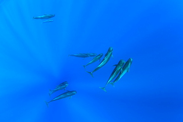Pod of short-finned pilot whales, (Globicephala macrorhynchus), Dominica, Caribbean Sea, Atlantic Ocean.