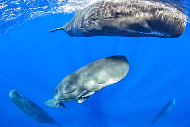Sperm whale mother and calf, (Physeter macrocephalus), Vulnerable (IUCN), The sperm whale is the largest of the toothed whales. Sperm whales are known to dive as deep as 1,000 meters in search of squid to eat. Image has been shot in Dominica, Caribbean Sea, Atlantic Ocean. Photo taken under permit n°RP 16-02/32 FIS-5.