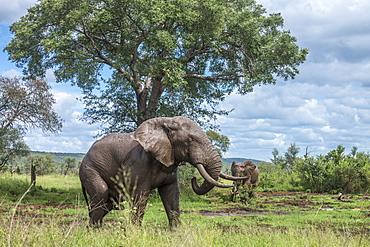 African bush elephant Loxodonta africana mud bathing in Kruger National park, South Africa