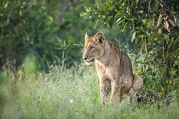 Young African lion Panthera leo sitted in Kruger National park, South Africa