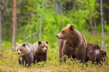 Brown bear (Ursus arctos) female, with her cubs, in a Suomussalmi forest, Finland