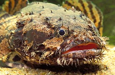 Grunting toadfish (Allenbatrachus grunniens)