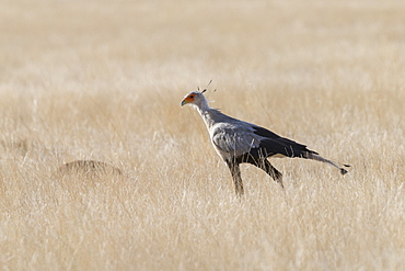 Secretarybird or secretary bird (Sagittarius serpentarius), walking, Private reserve, Upper Karoo, South Africa