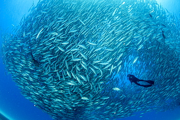 Scuba diver surrounded by shoal of Big-eye jacks (Caranx sexfasciatus), Cabo Pulmo Marine National Park, Baja California Sur, Mexico