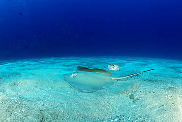 Diamond stingray (Dasyatis brevis) with Longspined porcupinefish (Diodon holocanthus), Cabo Pulmo Marine National Park, Baja California Sur, Mexico