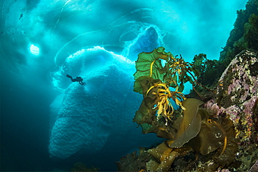 Laminaria (Saccharina latissima), a genus of 31 species of brown algae commonly called kelp in front of an iceberg with scuba diver, Tasiilaq, East Greenland