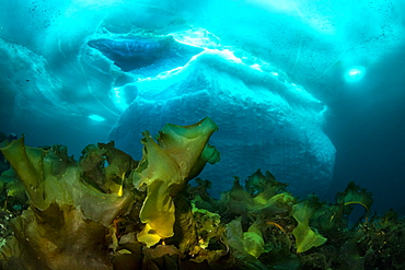 Laminaria (Saccharina latissima), a genus of 31 species of brown algae commonly called kelp in front of an iceberg, Tasiilaq, East Greenland