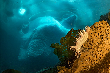 (Dendronotus robusta) nudibranch on brown algae commonly called kelp in front of an iceberg, Tasiilaq, East Greenland