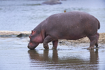 Hippopotamus (Hippopotamus amphibius) walking in the water, Kenya , Masaï Mara, National Reserve
