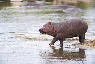 Hippopotamus (Hippopotamus amphibius) a young hesiste to enter the water, Kenya , Masaï Mara, National Reserve