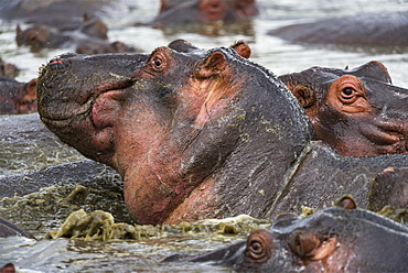 Hippopotamus (Hippopotamus amphibius) in the water close up, Kenya , Masaï Mara, National Reserve