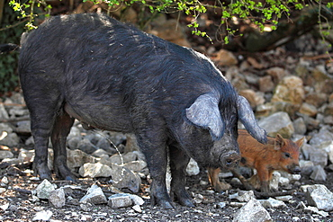 Pig of the breed gascogne and Boar pigglet marcassin, France