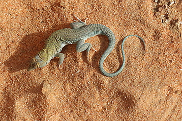 Golden Fringe-fingered lizard (Acanthodactylus aureus) on sand, Mauritania