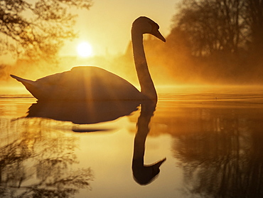 Mute Swan (Cygnus olor). A Mute Swan in the Peak District National Park, UK.
