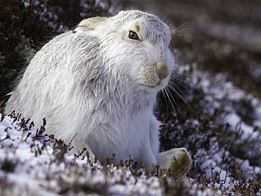 Mountain Hare (Lepus timidus). A Mountain Hare in the Cairngorms National Park, UK