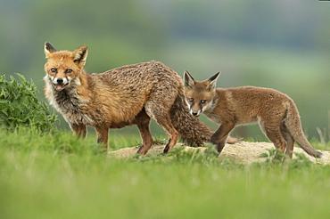 Red fox (Vulpes vulpes) near the , England