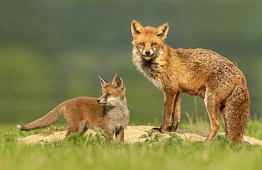 Red fox (Vulpes vulpes) vixen and cub near the earth, England