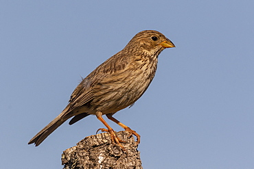 Corn Bunting (Emberiza calandra) perched on a branch, England