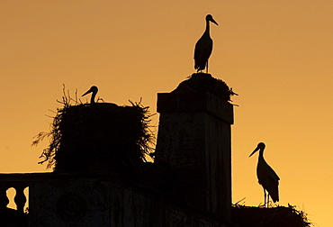White Stork (Ciconia ciconia) silhouette at sunset, Spain