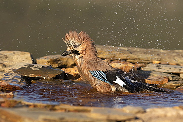 Eurasian jay (Garrulus glandarius) washing in water, Spain