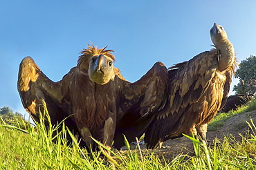Griffon vulture (Gyps fulvus) displaying, Spain