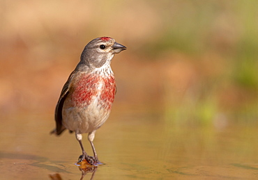 Linnet (Linaria cannabina) perched in water and drinking, Spain