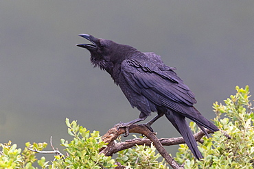 """Raven (Corvus corax) perched in a tree and calling, Spain"