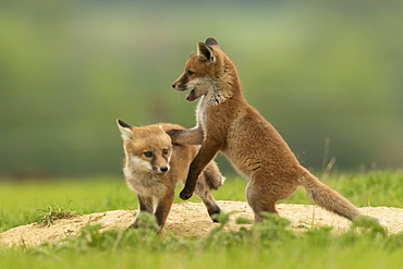 Red fox (Vulpes vulpes) cubs fighting, England