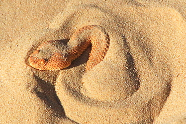 Lesser cerastes Vipera (Cerastes vipera) in sand, Mauritania