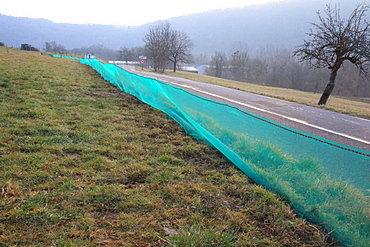 Rescue of amphibians in migration using nets and buckets buried. St Aupre, Isère, France