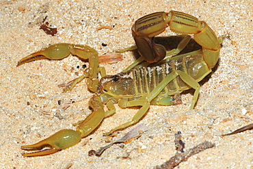 Yellow Fat Tail Scorpion (Androctonus australis) on sand, Mauritania