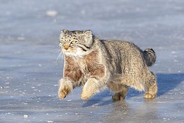 Pallas's cat (Otocolobus manul), moving, running, Steppe area, East Mongolia, Mongolia
