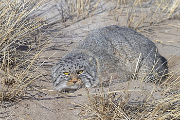 Pallas's cat (Otocolobus manul), in the grass, Steppe area, East Mongolia, Mongolia