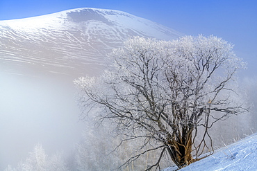 Willow (Salix sp) covered with frost, Ferrand Valley, Ecrins NP, Oisans, Northern Alps, France