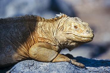 Barrington Island Iguana (Conolophus pallidus) portrait, Santa Fe, Galapagos