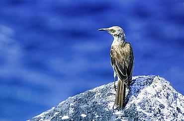 Hood Mockingbird (Mimus macdonaldi) on rock, Española, Galapagos