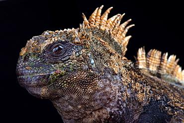 Santa Cruz marine iguana (Amblyrhynchus cristatus hassi)