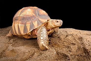 Angonoka tortoise (Astrochelys yniphora)