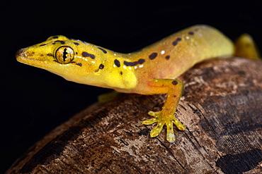 Polillo false gecko (Pseudogekko smaragdinus)