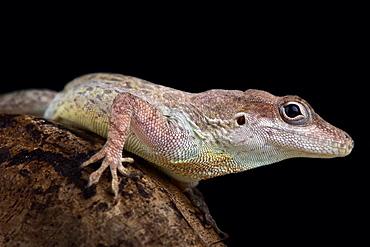 Anguilla bank anole (Ctenonotus gingivinus)